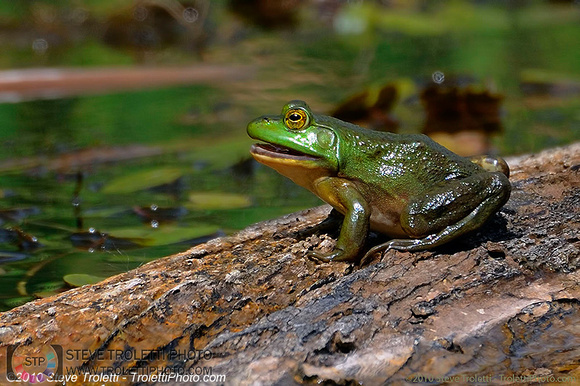 Steve Troletti Photography: PICTURE OF THE DAY / PHOTO DU JOUR &emdash; American Bullfrog / Ouaouaron