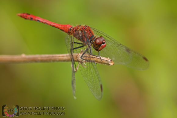 Steve Troletti Photography: Insects / Insectes / Insecta &emdash; Ruddy Darter / Sympétrum rouge sang