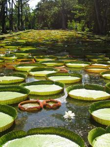 Giant Lilly Pads