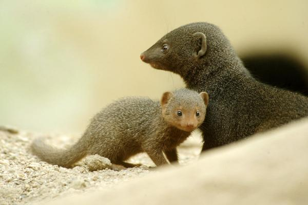 Two dwarf mongooses