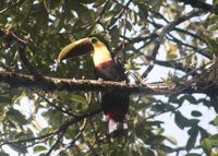 Chestnut-mandibled Toucan, Rara Avis, Oct 2005