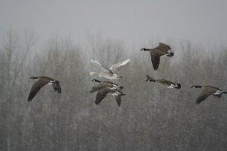 Mystery Goose amid Canadas, Dec 6, 2005