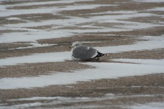 California Gull, Dec 6, 2005