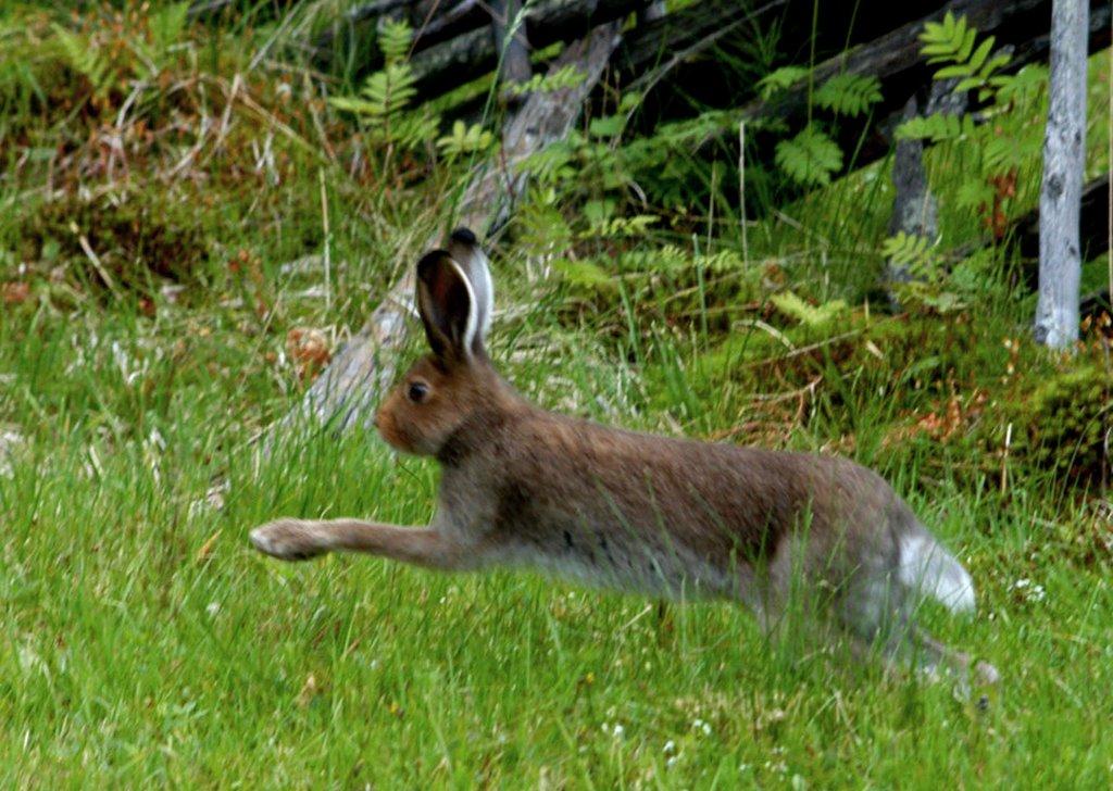 Bildresultat för hoppande hare