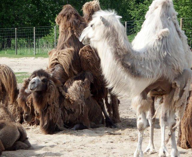 kevadised kaamelid