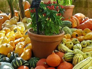 Chilli plants among squashes and gourds