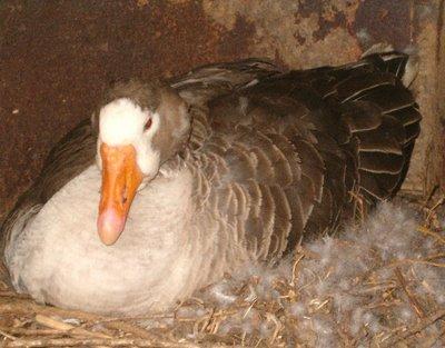 Gertie Goose on her nest