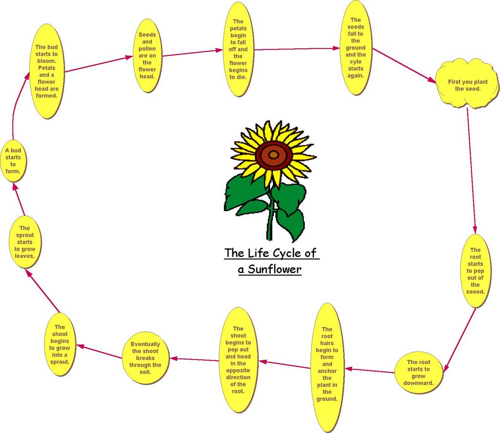 Plant Life Cycle Diagram For Kids Worksheet Free