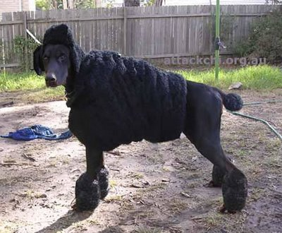 doberman poodle disguise