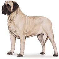 mastiff Os dez cachorros mais inteligentes e os mais burros