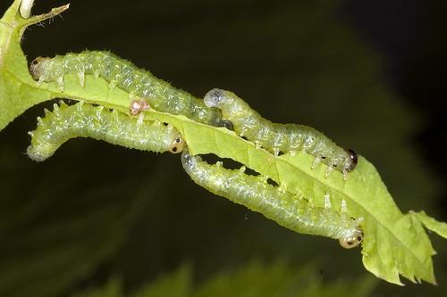 larves