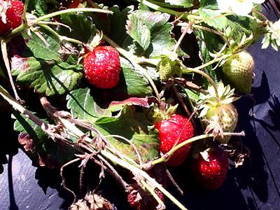 Berries On The Vine