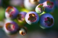 Burbank-Garden-Berries