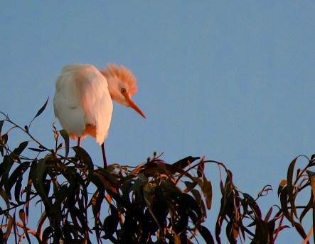 Cattle-Egret-Portrait