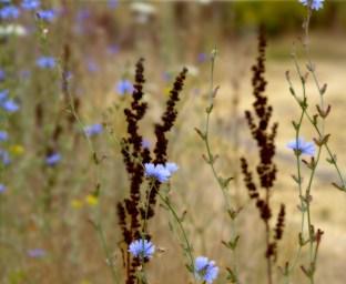 Chicory-Dance