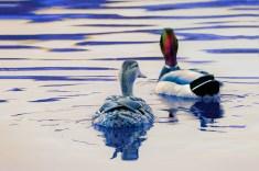 Odd-Ducks