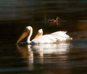 Pelican-Pair