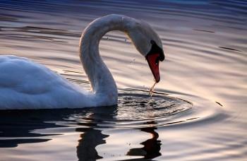 Sunlight-Swan