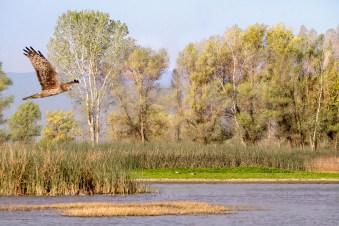 Marsh Hawk Hunting in Wildlife Refuge