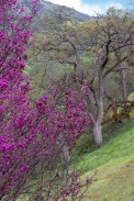 Redbud-View-of-Oak-Tree
