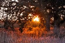 Laguna-Oak-Tree
