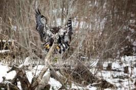A juvenile eagle preparing to land.
