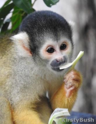 squirrel monkey 1