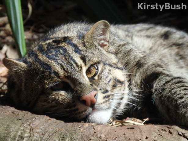 fishing cat4