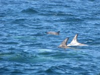 Risso Dolphins- see the calf!?