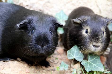 Miss Shoko et Princesse : 2 cochons d'Inde femelles