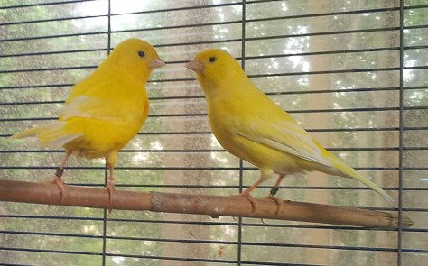 Couple de canaris de couleur jaune (2015)