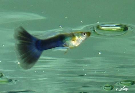 Guppy mâle bleu