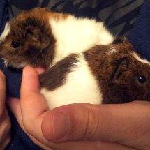 cochons-d-inde-2-bebes