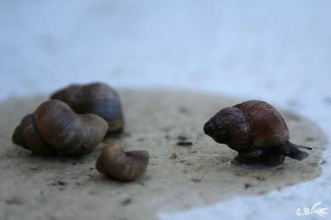 escargots, élégante striée