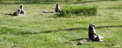 lémuriens Maki Catta