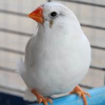 diamant mandarin femelle
