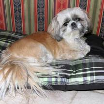 Lhasso Apso, 2011