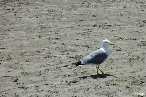 Goéland, plage de La Grande-Motte