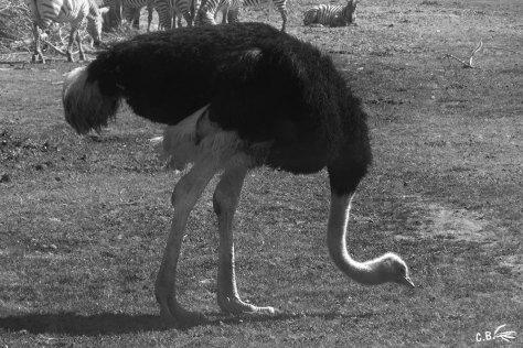 autruche mâle