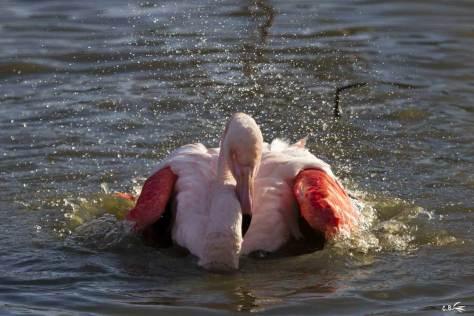 Flamant rose faisant sa toilette