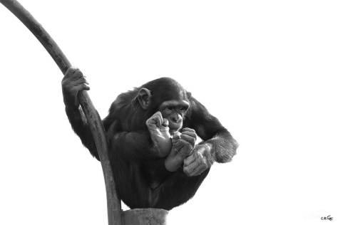 Chimpanzé, jeune, Touroparc, novembre 2017