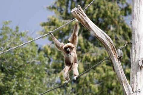 Gibbon à mains blanches, Le Pal, juillet 2018