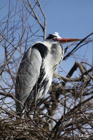 Héron cendré, centre ornithologique de Pont de Gau, février 2018