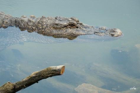 Alligator, Le Pal, juillet 2018
