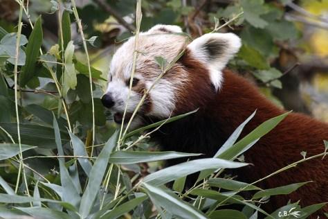 Panda roux, Touroparc, 2017