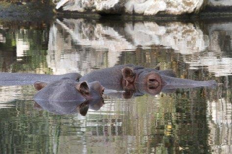 Hippopotames, Touroparc, novembre 2017