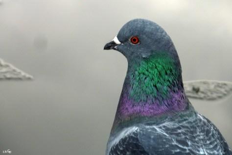 pigeon, lac Daumesnil, bois de Vincennes, hiver 2017