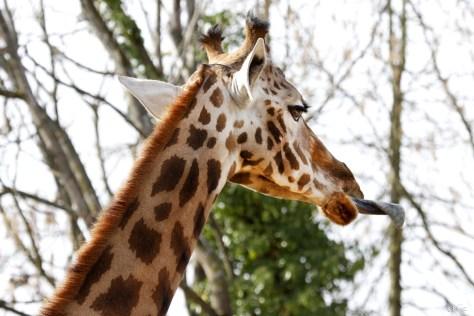 girafe, Touroparc Zoo, novembre 2017