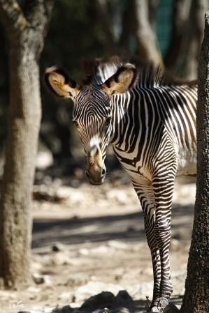 bébé zèbre, zoo de Lunaret, Montpellier, septembre 2018