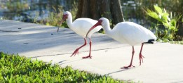 Ibises are not a particularly shy bird. You can get pretty close.